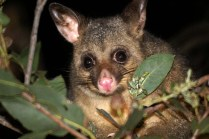 common_brushtail_possum2
